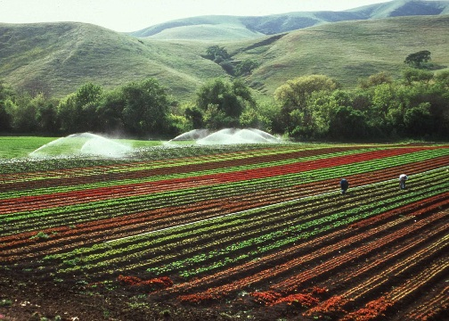 Central California lettuce crop  - Photo by Gary Kramer, NRCS