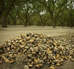 Almonds on ground on farm in Salida, Stanislaus County (Photo by Modesto Bee)